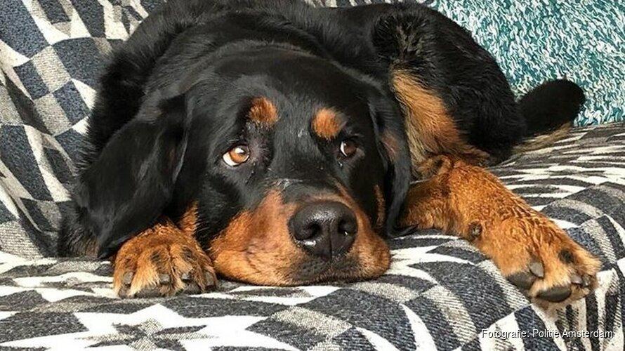 Gestolen hond Mazzel gevonden in Volendam