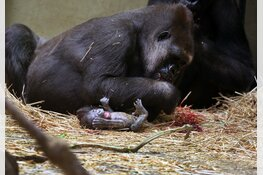 Gorilla geboren in ARTIS
